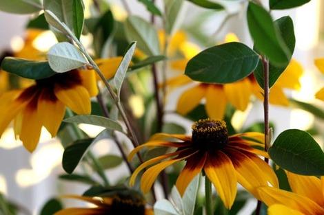 Rudbeckia_foliage_cotoneaster