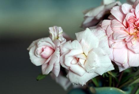 Rose_rosa_santa_teresinha
