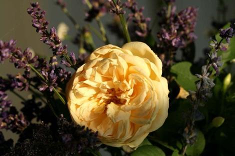 Rose_abricot