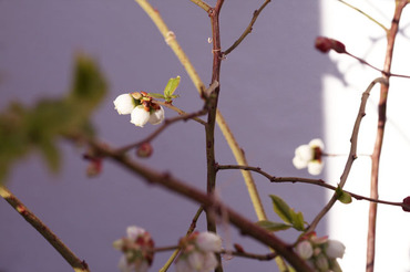 Blueberry_flower_fleur_de_myrtille
