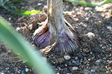 Allium_sativum_ail_garlic_alho