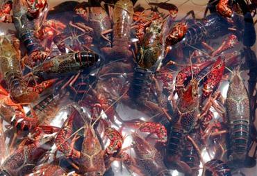 Crayfish_lagostim_crawfish_ecreviss