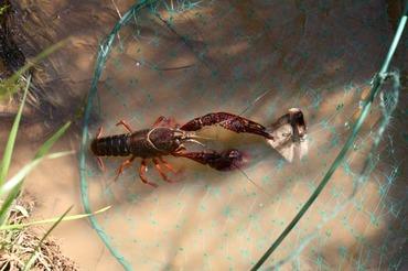 Ecrevisse_crayfish_lagostim_crawfis