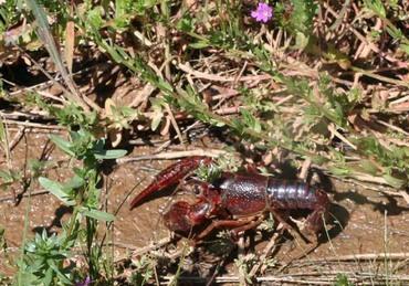 Lagostim_ecrevisse_crayfish_crawfis