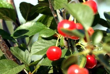 Sour_cherries_griottes