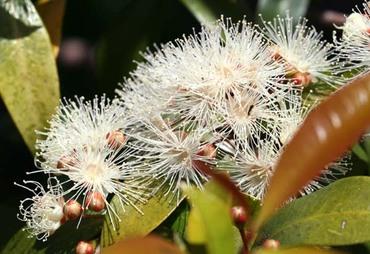 Brush_cherry_eugenia_myrtifolia_cer