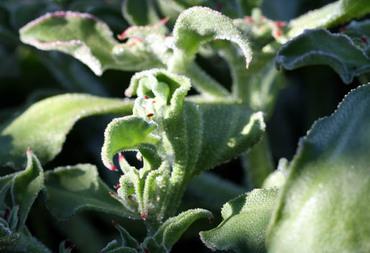 Mesembryanthemum_crystallinum_2