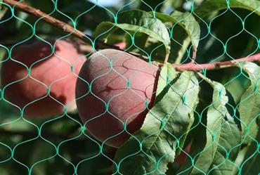 Peach_net_filet_anti_oiseaux