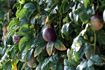 Passiflora_edulis_passion_fruit_mar