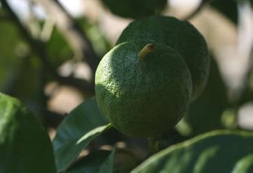 Bergamot_bergamote_citrus_bergamia