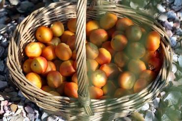 Fruit_butia_capitata_fruta