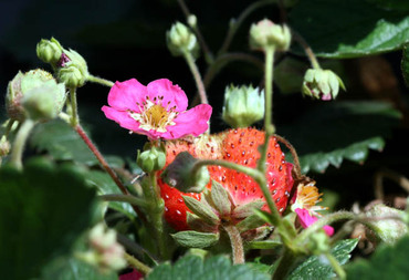 Rosalyne_pink_flowered_strawberry_p