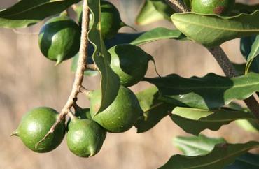 Noix_macadamia_nuts