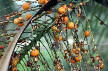 Jelly_palm_fruit_butia_capitata
