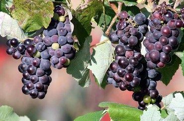 Raisin_grape_uva