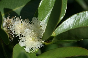 Flower_psidium_cattleianum_fleur