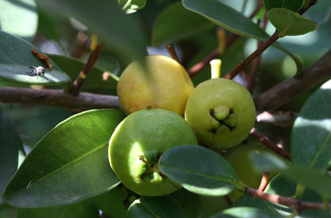 Lemon_guava_psidium_cattleianum_sp_