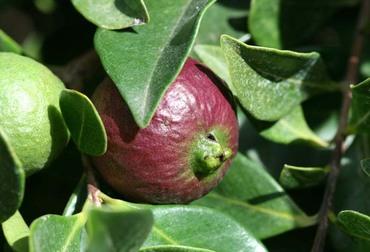 Strawberry_guava_psidium_cattleianu