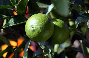 Lime_citron_vert_citrus_aurantifoli