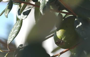 Feijoa_pineapple_guava_feijoa_sello