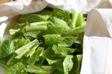Lettuce_laitue_romaine_dhiver_alfac