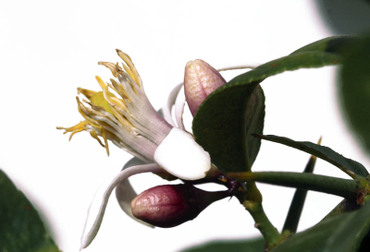Citron_flower_fleur_cdrat_flora_cid