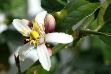 Fleur_cdrat_citron_flower_flora_cid