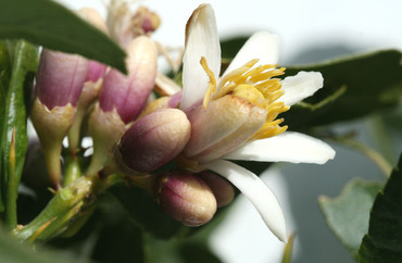 Citron_flower_fleur_cdrat