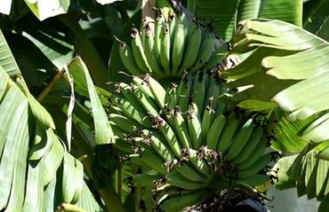 Green_bananas_bananes_vertes