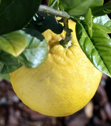 Ponderosa_american_wonder_lemon