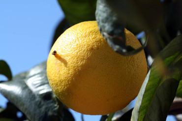 Bergamot_bergamota_bergamote_citrus