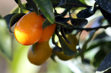 Kumquat_long