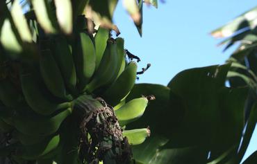 Banana_banane