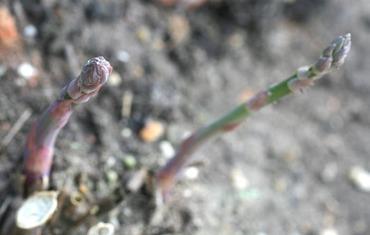 Asparagus_asperge_aspargo_asparagus