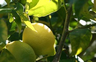 Lemon_citron_limao_citrus