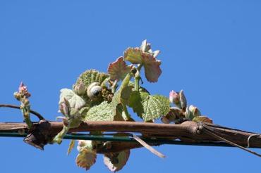 Vigne_uva_grape