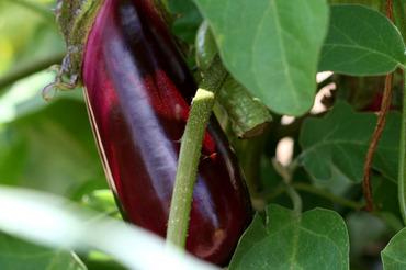 Eggplant_aubergine_beringela