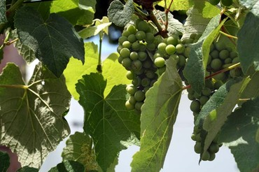 Green_grapes_raisin_vert