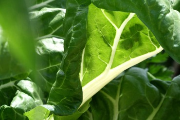 Swiss_chard_blette_beta_vulgaris