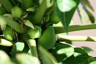 Papayas_papayes_papaia_carica_papay