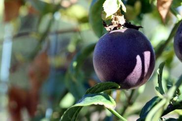 Passion_fruit_fruit_de_la_passion_m