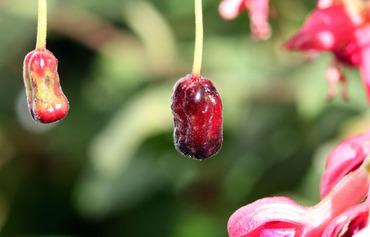 Fruit_fuchsia_magellanica_magellan_