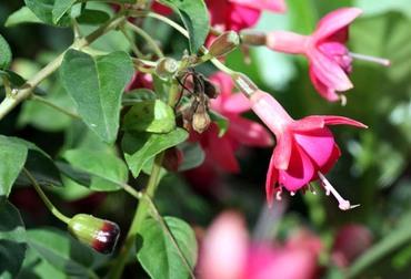 Fuchsia_magellanica_fruit_magellan_