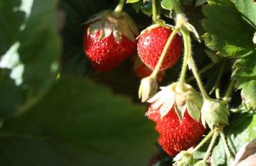 Strawberry_fraises_morengos