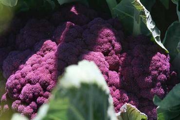 Cauliflower_chou_fleur_violet_couve