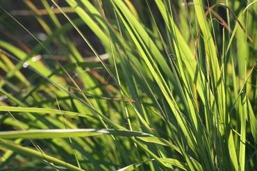 Lemon_grass_citronnelle_cymbopogon