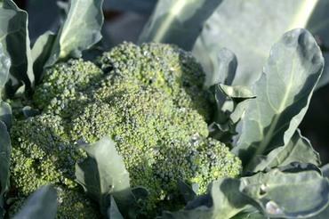 Broccoli_broccolo_brocoli