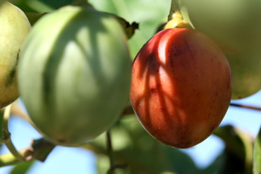 Tamarillo_prune_du_japon_tomate_en_