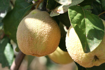 Wild_quince_coing_sauvage_marlelo_b