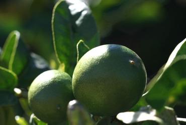 Lime_citron_vert_limao_verde
